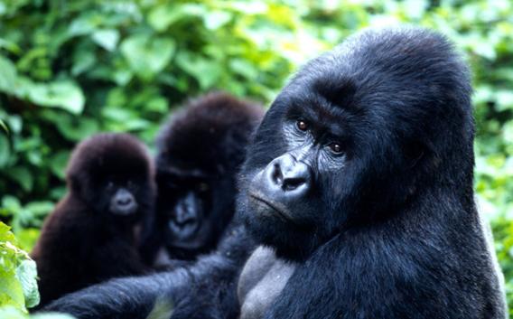 gorila montaña