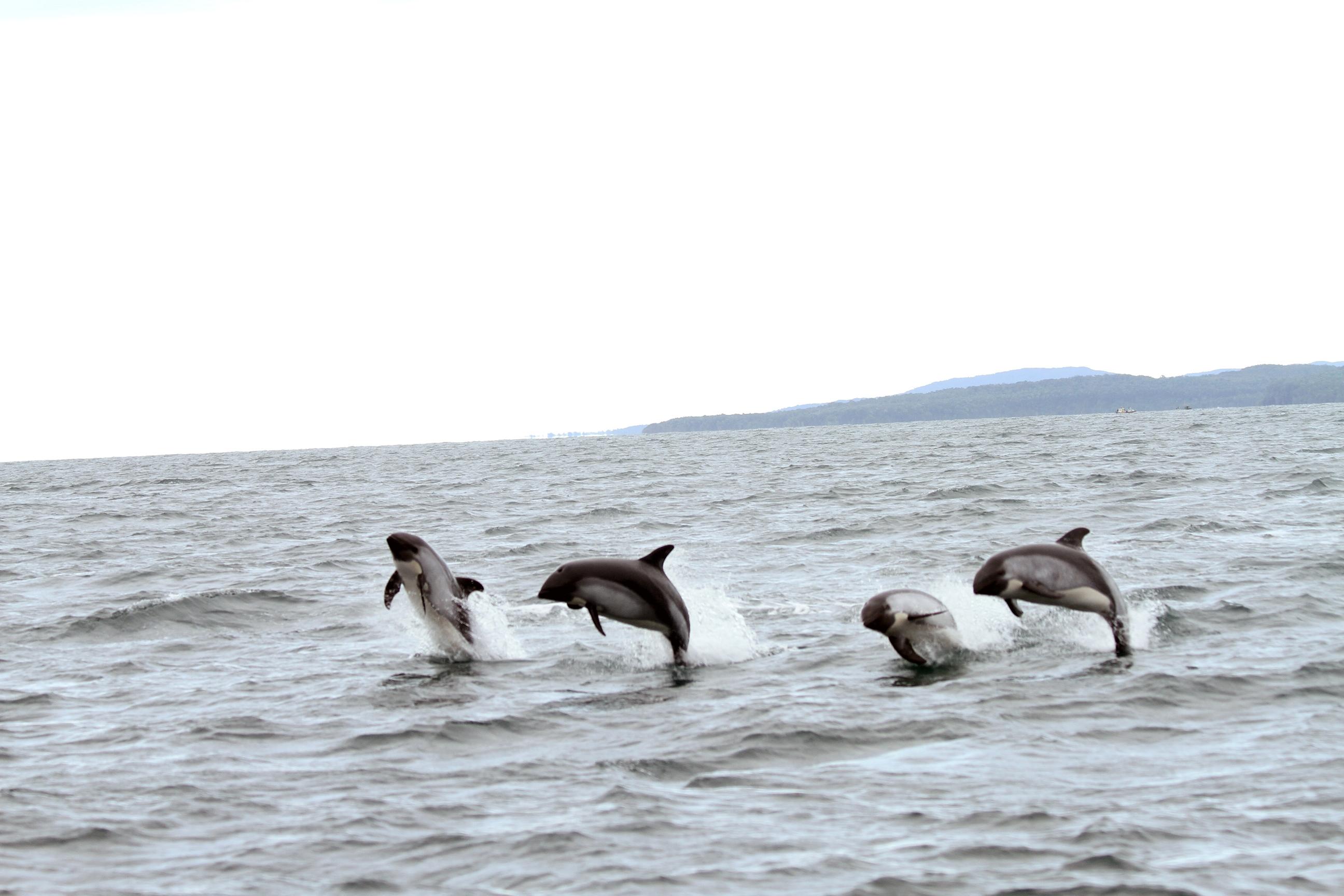 delfines australes en Quellón