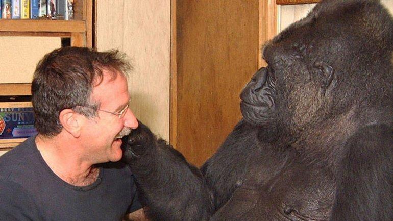 robin williams y el gorila koko