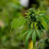 Marihuana A_UNO_508704