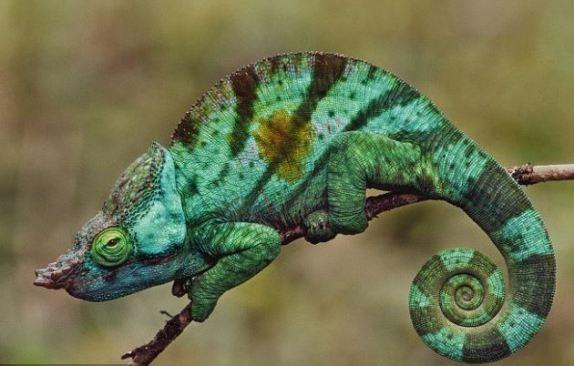 camaleon