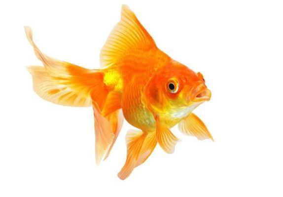 goldfish - carpa dorada