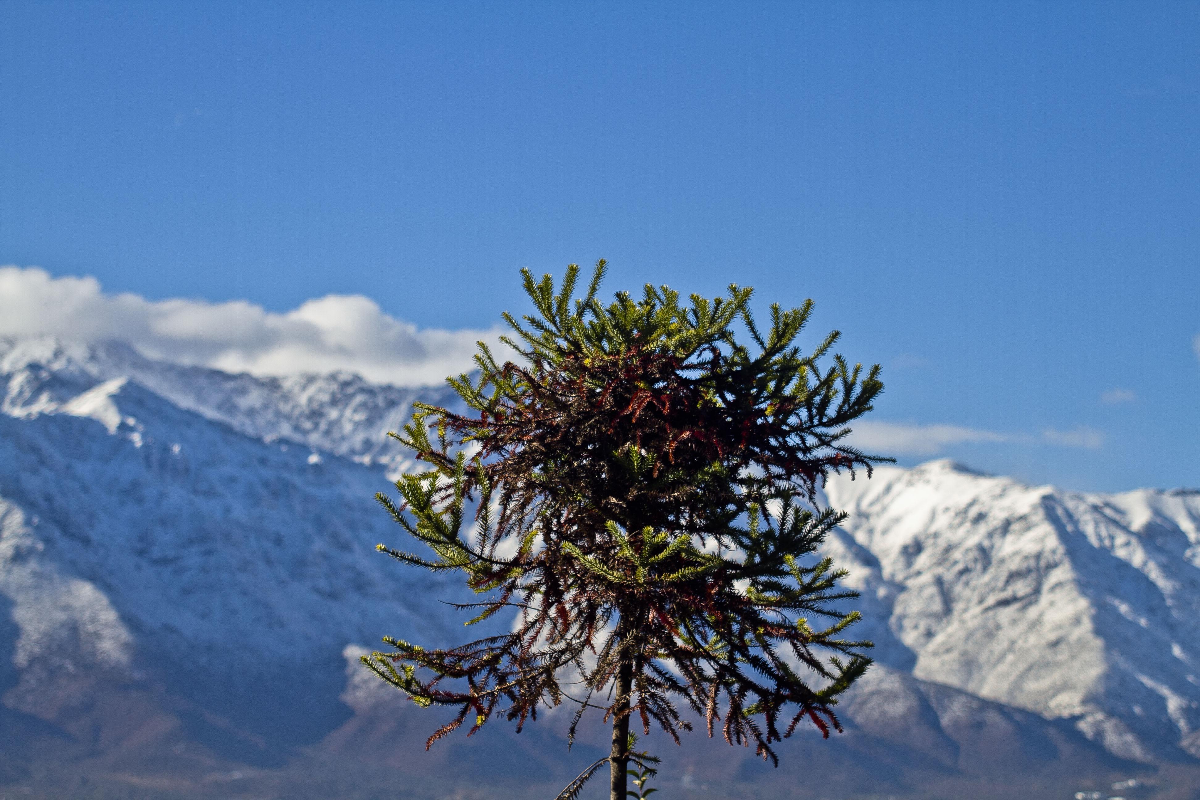 Catastro de los árboles más grandes del país indica que hay 44 ejemplares que no están protegidos