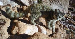 En Chile, el gato andino es una especie rara, debido a la extrema baja densidad en todo su rango de distribución, que comprende las zonas altiplánicas de la Primera a la Tercera Región.