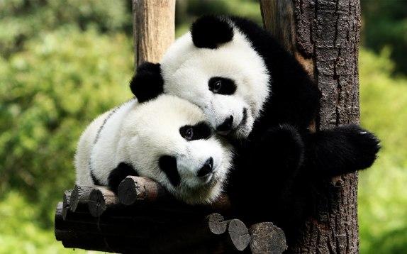 Osos-panda-enamorados-panda-bears-in-love