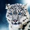 Leopardo de las nieves, vive en las montañas de Asia Central.