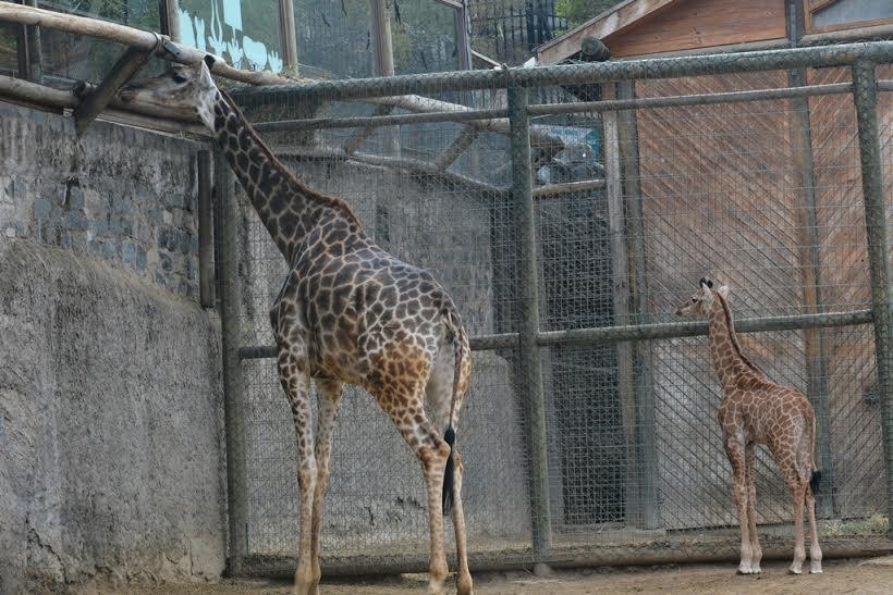 """Declaran a las jirafas como especie """"vulnerable"""" en peligro de extinción"""