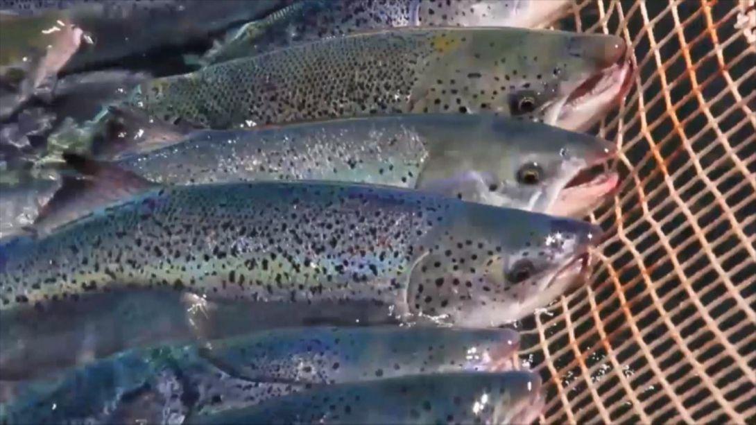 Industria salmonera se prepara ante posible nuevo brote de marea roja en el sur