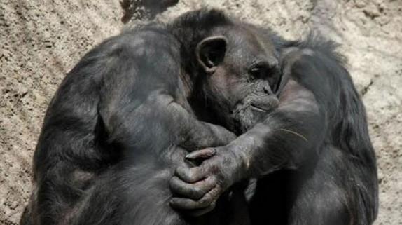 chimpance-cecilia-zoo-mendoza