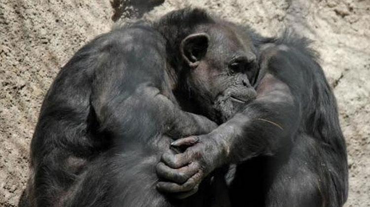 """Trasladan a un santuario natural a Cecilia, la chimpancé que vivía en cautiverio en """"condiciones deplorables"""""""