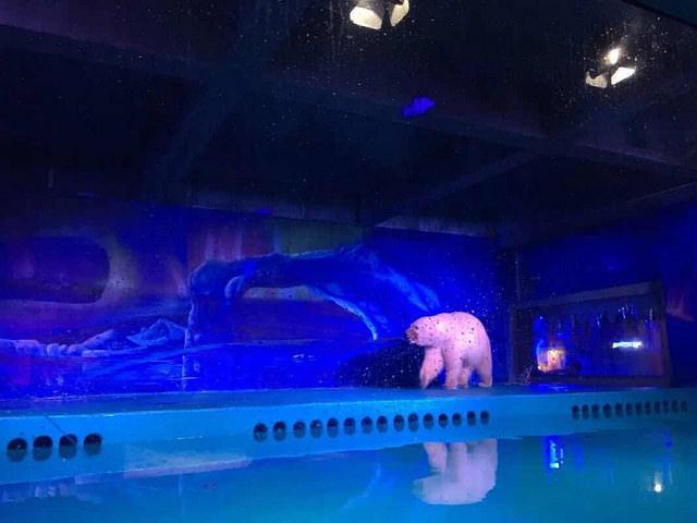 """El """"oso polar más triste del mundo"""" volverá a su hábitat natural… pero sólo por un tiempo reducido"""