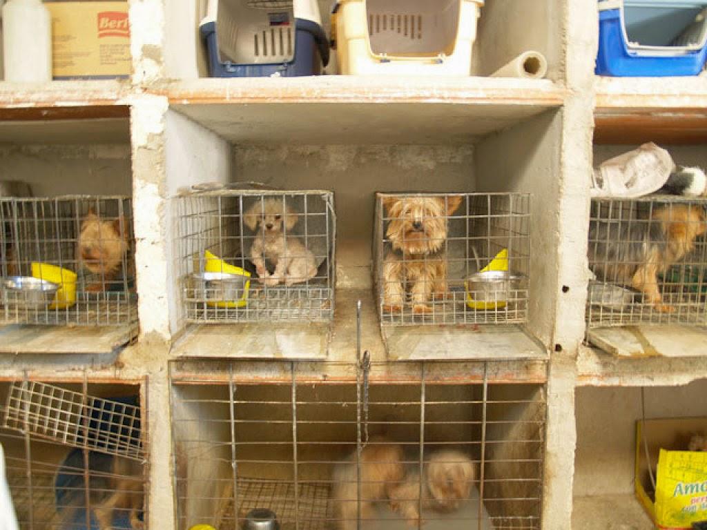 Las nocivas consecuencias de la cruza indiscriminada de perros en Chile