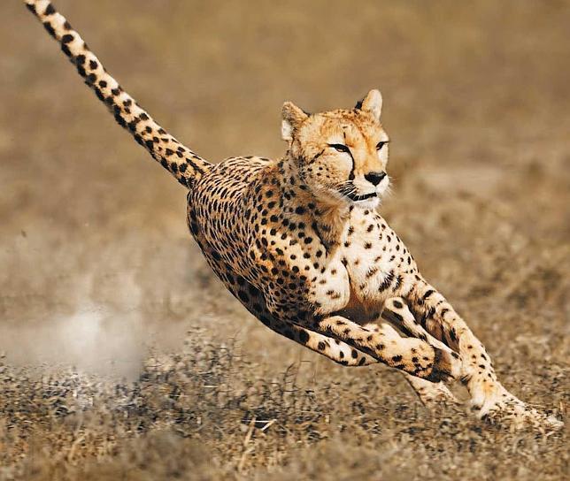 Lapidario estudio revela que el guepardo está a un paso de la extinción