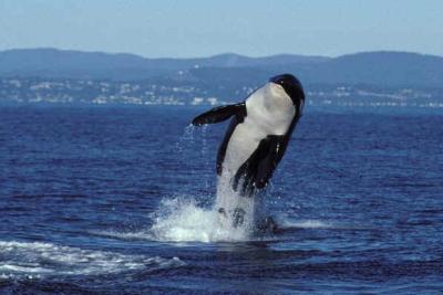 """""""Granny"""", la orca más vieja del mundo, fallece a las 116 años"""