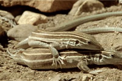 Especie de lagartija se reproduce solo entre ejemplares de hembras sin necesidad de macho