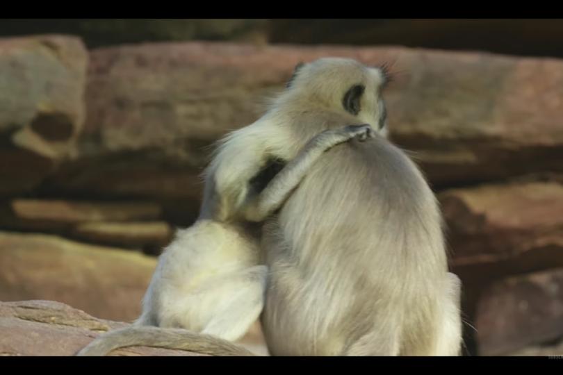 VIDEO | Monos Langur lloran la supuesta muerte de un robot que los estaba espiando