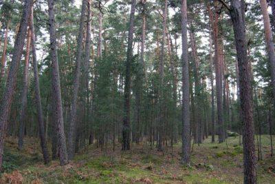 Este es el documental que muestra la histórica relación entre plantación de pinos y eucaliptos con incendios