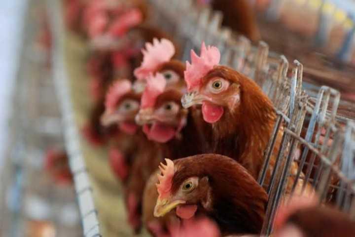 """Medios argentinos encienden las alarmas por gripe aviar: """"Si viajas a Chile, no toques ningún ave"""""""