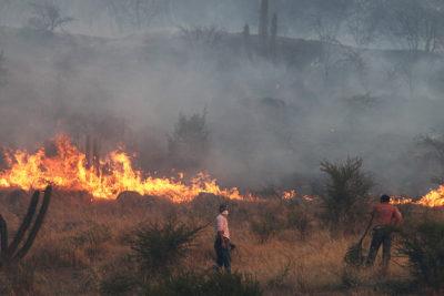 Las otras víctimas de las llamas: animales enfrentan quemaduras y falta de agua por incendios