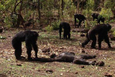 """Chimpancés matan y se comen al """"ex tirano"""" de la tribu luego de regresar del exilio"""
