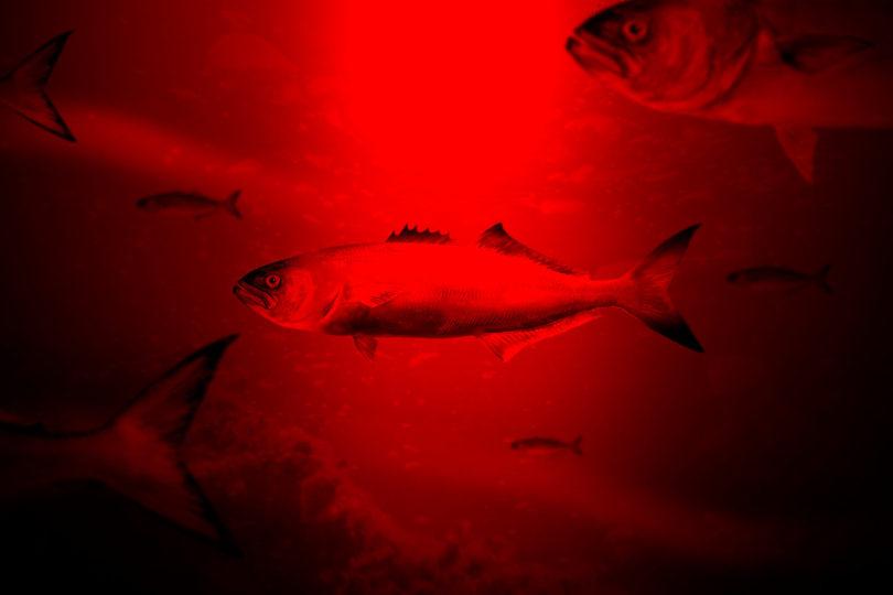 Marea Roja detectada en Chiloé: Sernapesca declara alerta por plaga de algas