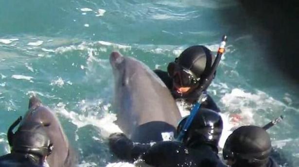 VIDEO | Delfín intenta desesperadamente salvar a su cría de un grupo de cazadores