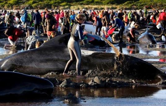 Tragedia ambiental: encuentran a más de 400 ballenas varadas en la costa de Nueva Zelanda
