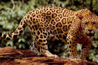 Crítico escenario para los jaguares: quedan solo 64 mil ejemplares en Latinoamérica