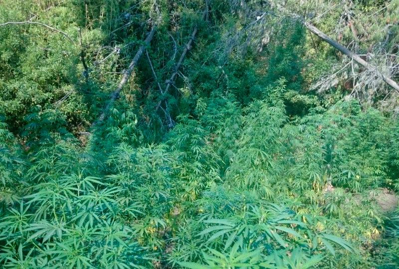 Encuentran más de dos mil plantas de marihuana en medio de incendio en Constitución