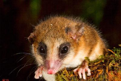Ellos NO SON roedores: la lista de los marsupiales que podrían llegar a la ciudad tras incendios