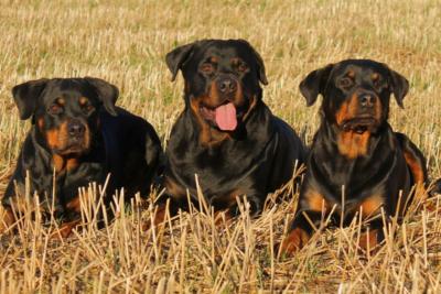 Hombre muere tras ser atacado por cinco perros guardianes