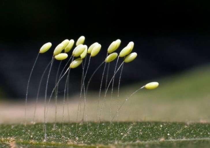 Descubren un ejemplar de Udumbara, la flor que aparece cada 3 mil años según la tradición budista