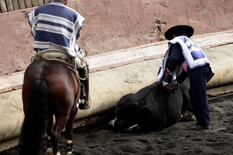 """Concejal quiere prohibir el rodeo en Rancagua: """"Somos la capital del maltrato animal en Chile"""""""