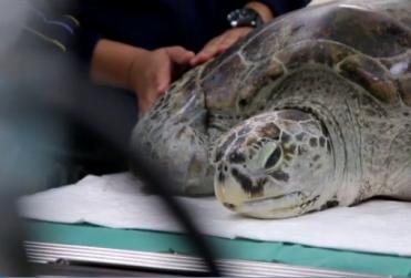 Muere la tortuga marina a la que extrajeron 915 monedas del estómago