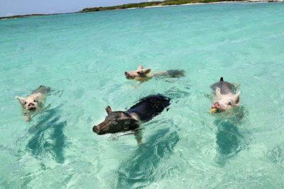 """Turistas matan a siete de los famosos """"cerditos nadadores"""" de Bahamas al intoxicarlos con ron y cerveza"""