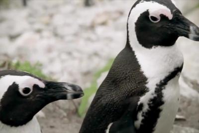 VIDEO | Artistas se unen para frenar el proyecto minero Dominga y salvar a los pingüinos de La Higuera