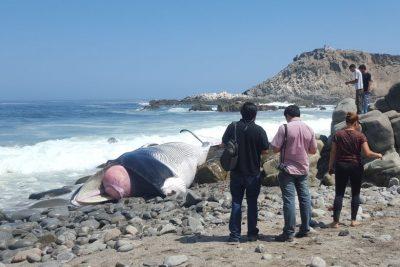 FOTOS   Encuentran a ballena jorobada varada en playa de Iquique