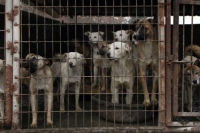 Rescatan a 46 perros que iban a ser sacrificados para consumo humano en Corea del Sur