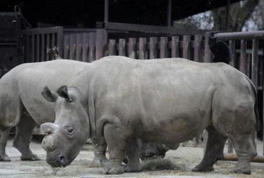 Zoológico corta cuernos de 21 rinocerontes para evitar la caza furtiva