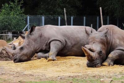 Matan a rinoceronte en zoológico de Francia para robar su cuerno