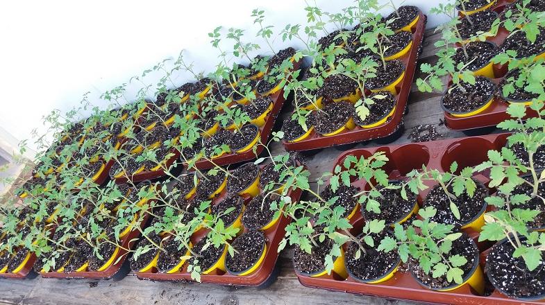 Chilenos crean injertos para que tomates, pimientos y ajíes sean más tolerantes al cambio climático
