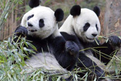 La más grande del mundo: comienza construcción de reserva natural gigante para pandas