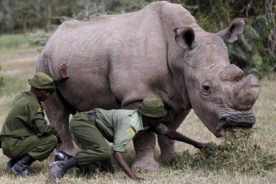Así somos los humanos: último rinoceronte blanco es custodiadio 24/7 para que no lo maten