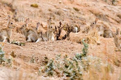 La polémica decisión de Australia de liberar un virus mortal para eliminar la plaga de conejos