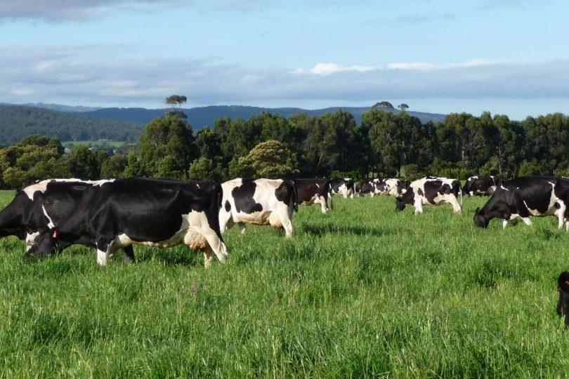 Biogás hecho de estiércol de vaca reduce hasta un 20% el consumo de leña en el sur de Chile