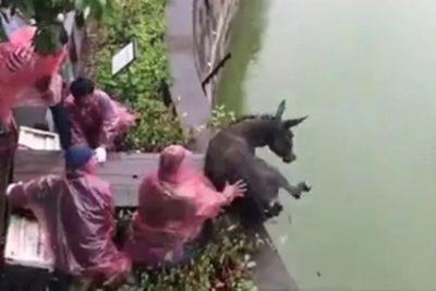 Lío judicial en zoológico chino termina con un burro devorado por tigres hambrientos