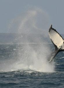 Japón vuelve a la caza furtiva de ballenas: 333 ejemplares muertos, un tercio hembras preñadas