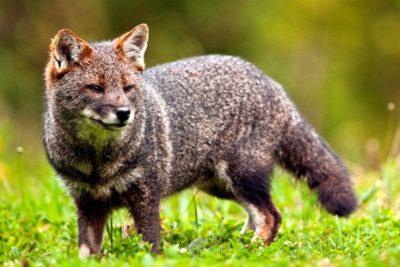 Apenas el 15% de las especies amenazadas en Chile está dentro del plan de recuperación
