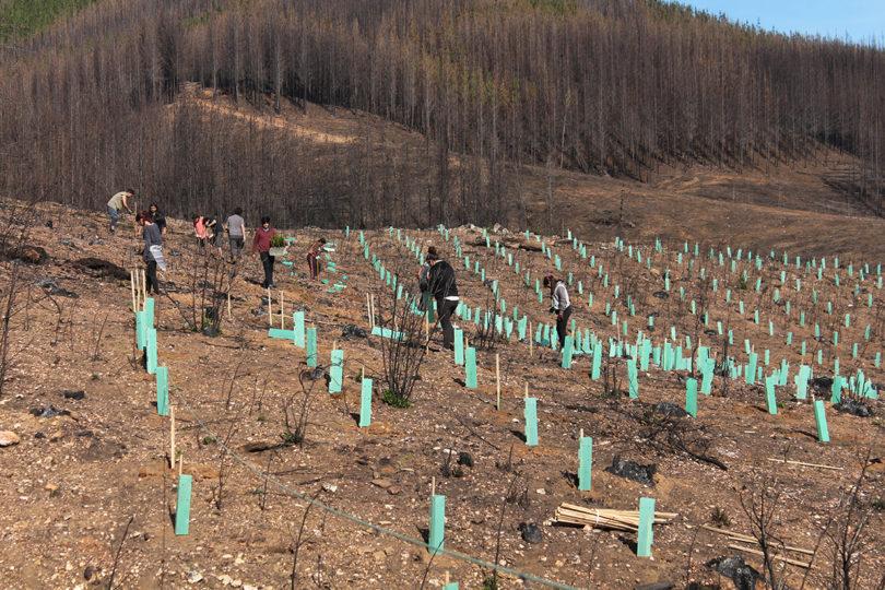 Con plantación de árboles nativos comienza la reforestación en el Maule