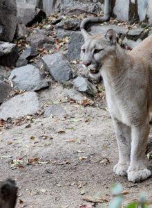 FOTO | Ministro de Medio Ambiente denuncia cacería de puma en Chile Chico